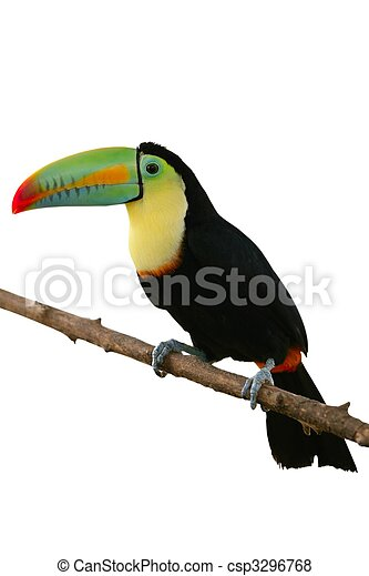 Toucan bird colorful in  white background - csp3296768