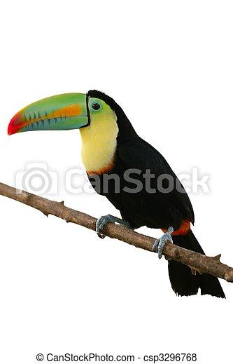 fehér, tukán, háttér, színes, madár - csp3296768