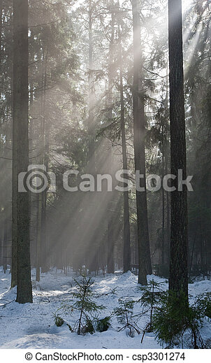 Winter landscape of coniferous stand - csp3301274