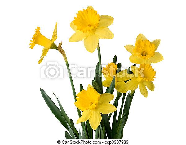 Daffodil plant - csp3307933