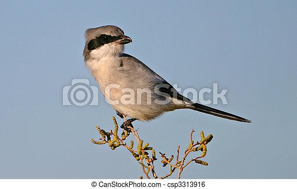 Loggerhead Shrike - csp3313916