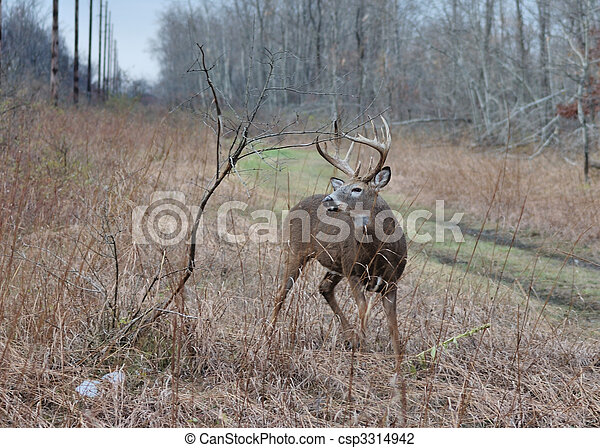 Whitetail Deer Buck - csp3314942