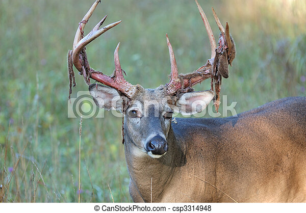 Whitetail Deer Buck - csp3314948