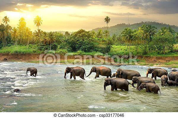Herd of elefants walking in a jungle river