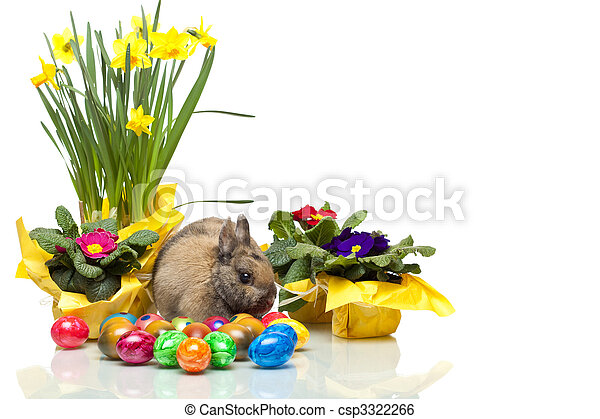 One cute Easter Rabitt sitting among yellow daffodil, primrose and Easter eggs.  Isolated on white background. - csp3322266
