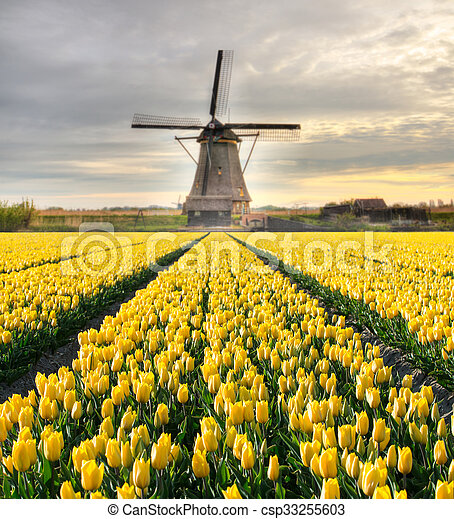Vibrant tulips field with Dutch windmill - csp33255603