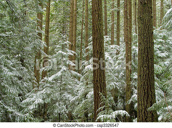 Winter evergreen forest - csp3326547