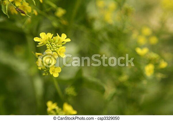 Mustard flower Sinapis Aiba yellow flowers and plant, nature - csp3329050