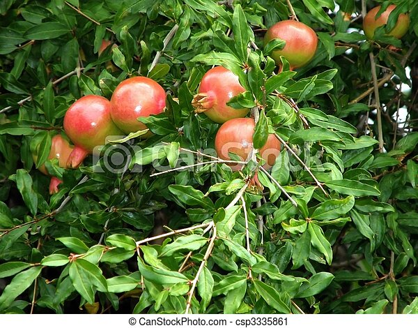Stock de fotograf a de granada fruta tallo planta for Arbol granada de jardin