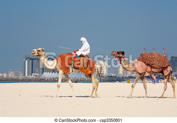 Camels on Jumeirah Beach, Dubai - csp3350801
