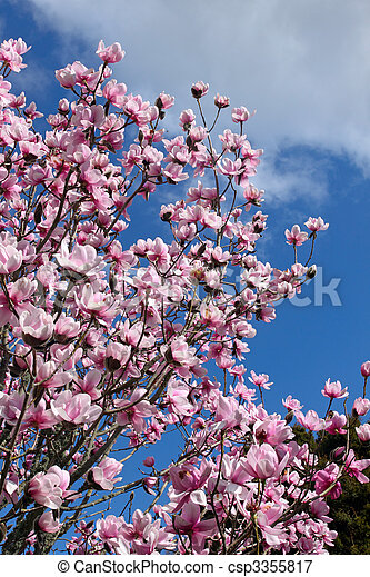 image de rose printemps magnolia fleur arbre magnolia arbre csp3355817 recherchez. Black Bedroom Furniture Sets. Home Design Ideas