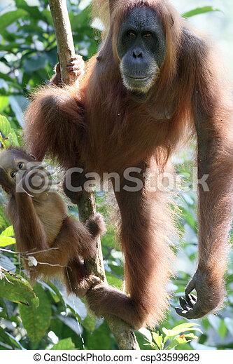 Orang utan, Pongo abelii, two mammals in tree, Sumatra, January 2016