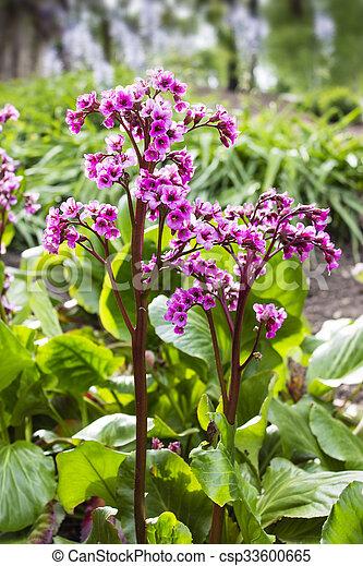 image de rose, bergenia, fleur, heartleaf, feuilles, violet