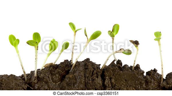 alface, Sementes, Germinar - csp3360151