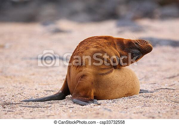 Young Galapagos sea lion on North Seymour Island, Galapagos National Park, Ecuador - csp33732558