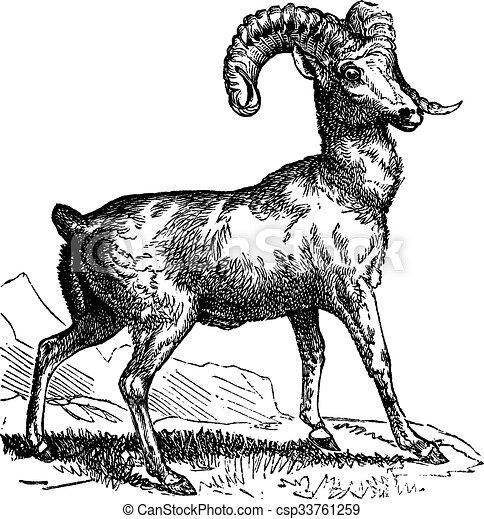 Clipart Vector of Rocky Mountain sheep (Ovis montana) or Bighorn ...