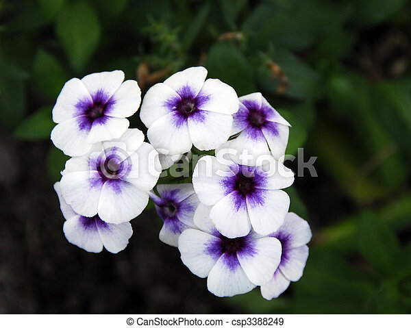 Stock Photo - white purple vinca Flowers - stock image, images ...: www.canstockphoto.com/white-purple-vinca-flowers-3388249.html