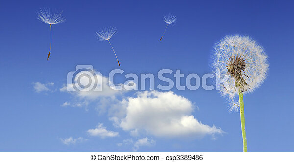 Dandelion seeds flying - csp3389486