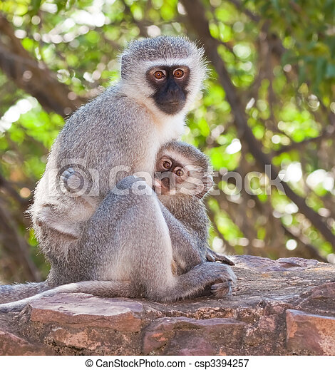 Vervet monkey with baby sucking on a nipple - csp3394257