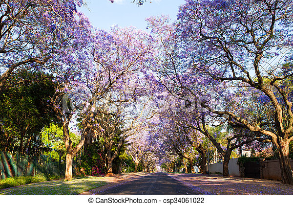 Early morning street scene of jacaranda trees in bloom - csp34061022