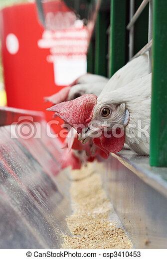 Hens near a feeding trough  - csp3410453