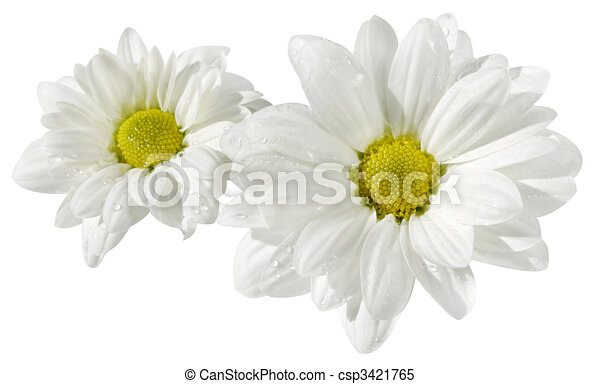 flowers of a chamomile on white - csp3421765