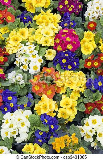 primroses - csp3431065