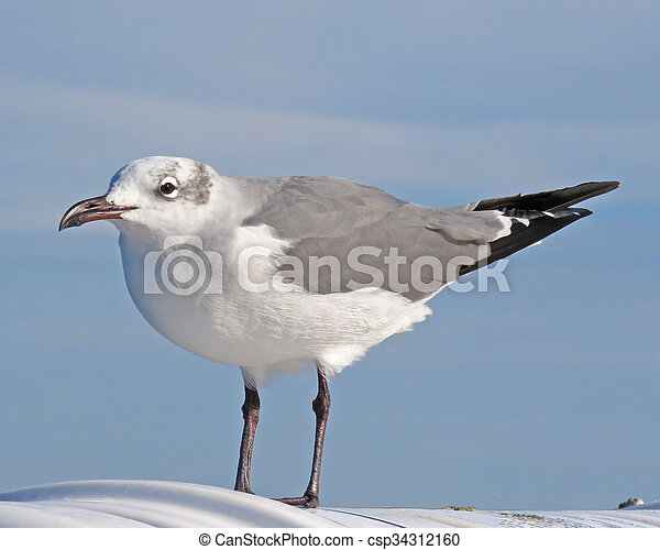 Laughing Gull, winter plumage - csp34312160