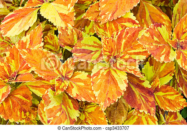 Colorful Coleus - csp3433707