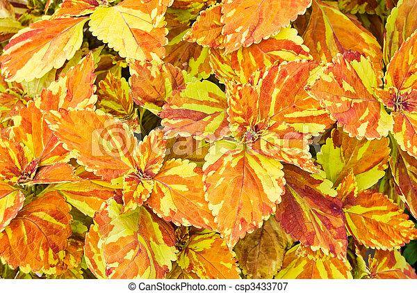 Colorful Coleus - csp3433707