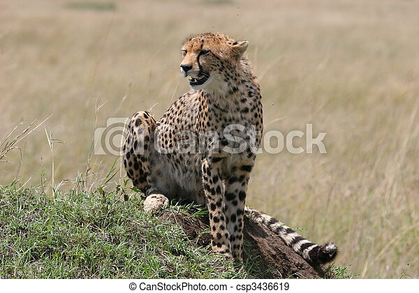 Cheetah resting in the grass with sunlight - csp3436619