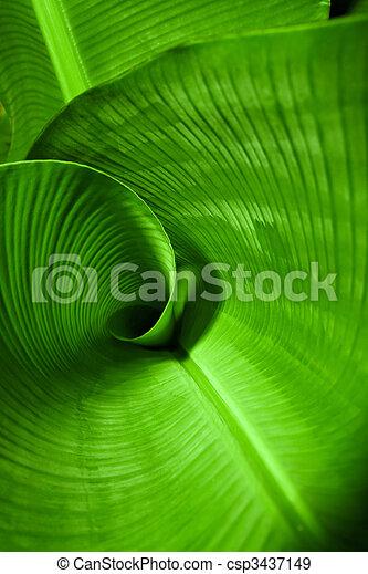 Banana Leaf Curl - csp3437149