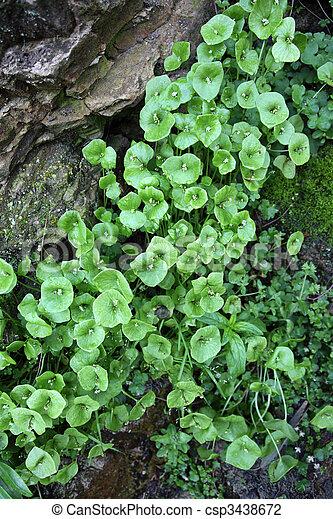 Rocks, Miner\'s Lettuce, Moss - csp3438672