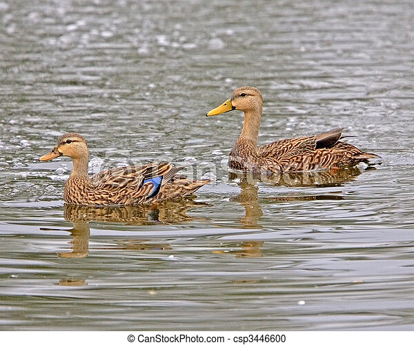 Mottled Duck - csp3446600