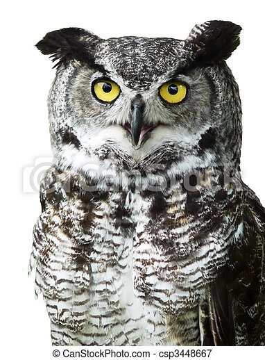 Close-up of a Great Horned Owl looking at camera - csp3448667