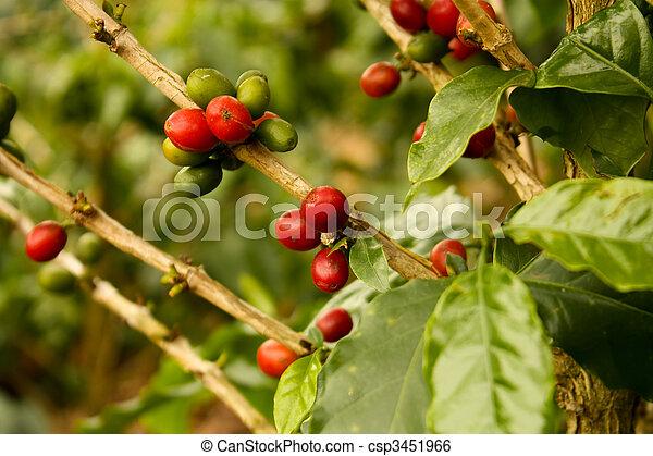 café, plantas, Maduro - csp3451966