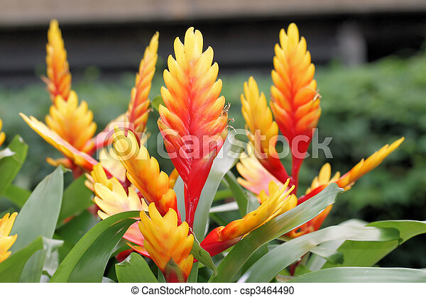 Red and yellow Bromeliad - csp3464490
