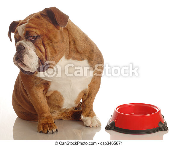 english bulldog turning her nose up to an empty food dish - hungry dog - csp3465671
