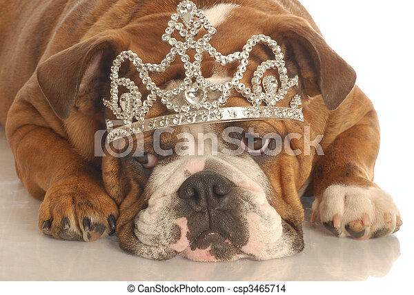 english bulldog wearing diamond studded tiara isolated on white background - csp3465714