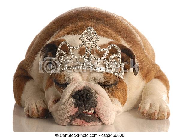 english bulldog wearing princess crown or tiara isolated on white background - csp3466000