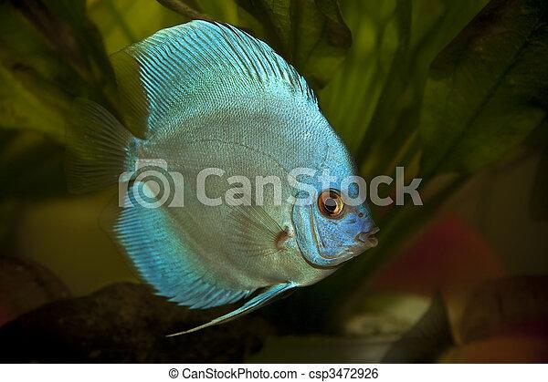Discus fish - Symphysodon aequifasciatus - csp3472926