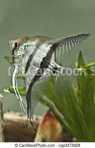 Fresh water Angel fish - Pterophyllum scalare - csp3472928