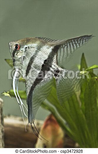Fresh water Angel fish - Pterophyllum scalare - csp3472928