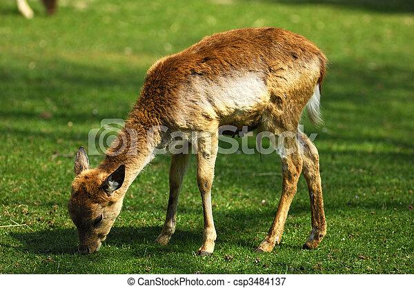 Hjort kalv