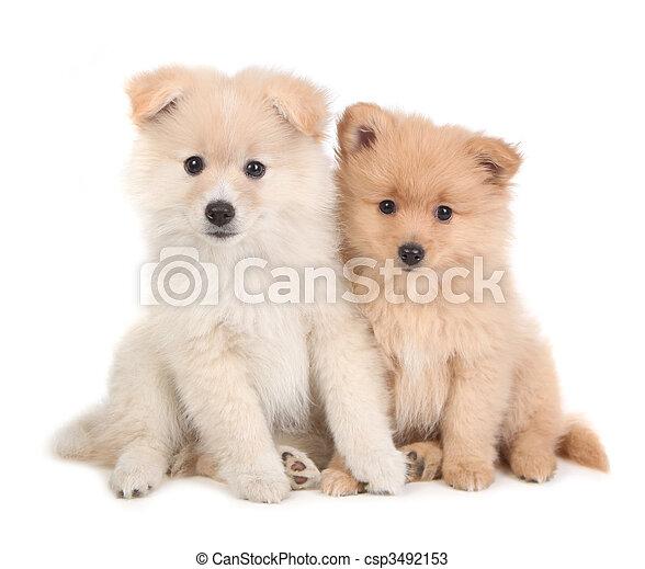 かわいい,  Pomeranian, モデル, 一緒に, 背景, 子犬, 白 - csp3492153