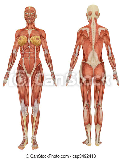 Front and rear view of female muscular anatomy very educational - csp3492410