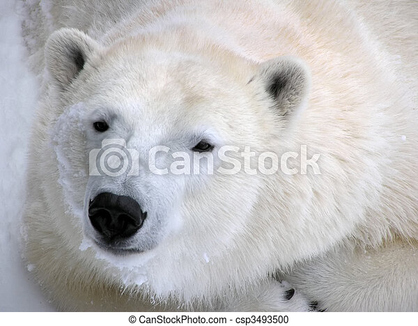 Polar bear ready for a nap portrait - csp3493500