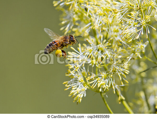 Honey Bee  - csp34935089