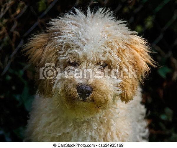 Cavapoo puppy portrait - csp34935169