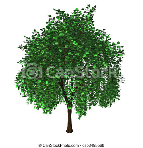 Maple Tree Drawing Isolated Maple Tree